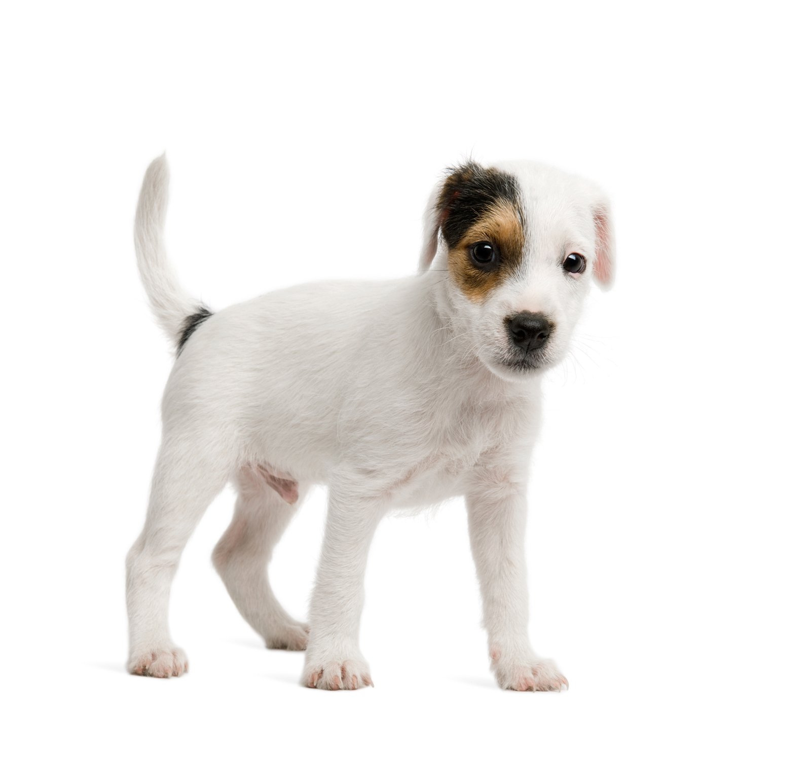 white dog white background